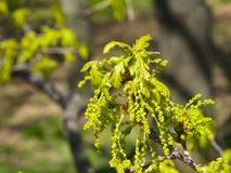 Blossom of English Oak Tree or Quercus robur with male flowers close-up, selective focus, shallow DOF.  Stock Photography