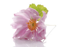 Blossom of fall anemone (Anemone japonica) Royalty Free Stock Images