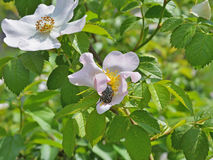 Beetle eating on a dog-rose Stock Photos