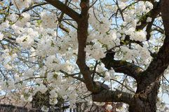 Blossom festival Royalty Free Stock Photography