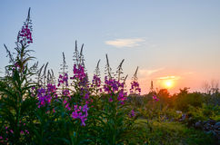 Blossom fireweed at sunset Royalty Free Stock Photography