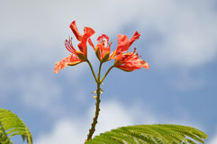Blossom of a flame tree, delonix regia Royalty Free Stock Image