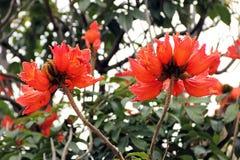 Blossom of Flame tree, Spathodea campanulata, close-up photo Stock Photos