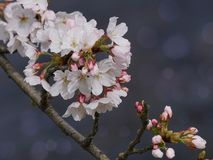 Blossom, Flower, Branch, Pink royalty free stock photo
