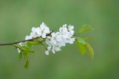 Blossom flower Stock Photos