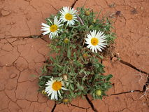 Blossom flower in the desert. Blosson daisy in the chapped desert sand Royalty Free Stock Image