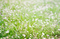 Blossom flower in the grass field in spring. Many blossom flower in the green grass field in spring Stock Photography