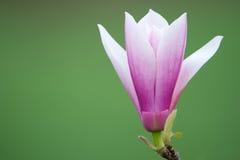 Blossom flower royalty free stock photos