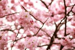 Blossom, Flower, Pink, Cherry Blossom royalty free stock images