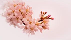 Blossom, Flower, Pink, Cherry Blossom royalty free stock photo
