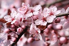Blossom, Flower, Pink, Spring royalty free stock images