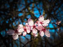 Blossom, Flower, Pink, Spring Stock Images