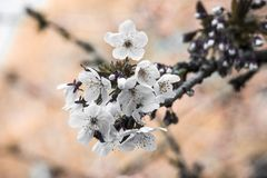 Blossom, Flower, Spring, Branch royalty free stock image