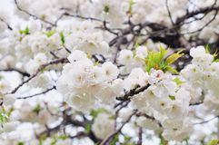 Blossom, Flower, Spring, Cherry Blossom royalty free stock images