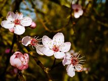 Blossom, Flower, Spring, Pink Stock Images