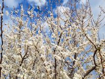 Blossom Flower tree full of bloom with tiny flowers royalty free stock photo