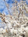 Blossom Flower Tree in the garden stock images