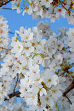 Blossom flowers Royalty Free Stock Photography