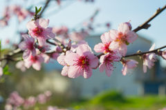 Blossom flowers. Pink blossom flowers on the stick in the garden Royalty Free Stock Photos