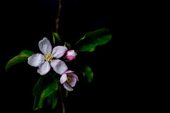Blossom flowers in vase isolated on a black background Royalty Free Stock Photo