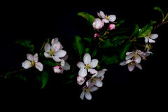 Blossom flowers in vase isolated on a black background Stock Photography