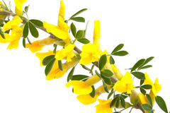 Blossom forsythia Stock Photos