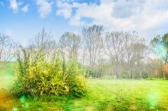Blossom of Forsythia spring flowering plants in garden or park Royalty Free Stock Images