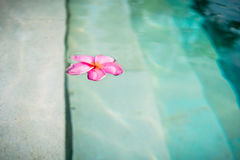 Blossom of Frangipani-Flower floating in pool Royalty Free Stock Image
