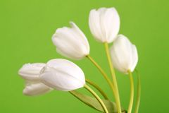Blossom and fresh white tulips Stock Photography