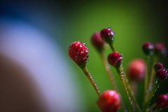 Fresh red Blossom with dew drops. Freshness red blossoms are so tempting Royalty Free Stock Photo