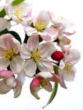 Blossom. Of a fruit tree pear Royalty Free Stock Photo