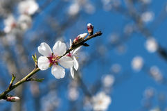 A blossom of fruit tree Stock Images