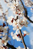 Blossom of fruity brach in the sunlight. Royalty Free Stock Photos