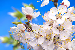 Blossom of fruity brach in the sunlight. Stock Photography