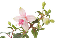 Blossom of a fuchsia Royalty Free Stock Photography