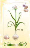 Blossom garlic illustration Royalty Free Stock Images