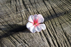 Blossom of geranium. Nice blossom of geranium on old wooden background royalty free stock photo