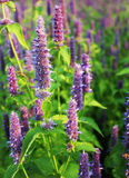 Blossom of giant Anise hyssop Agastache foeniculum. In a summer garden royalty free stock photos