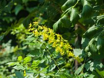 Blossom of Golden Rain tree or Koelreuteria paniculata close-up, selective focus, shallow DOF Royalty Free Stock Image