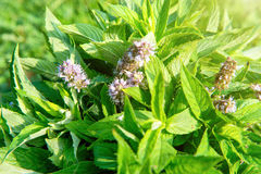 Blossom green mint leaves Royalty Free Stock Photo