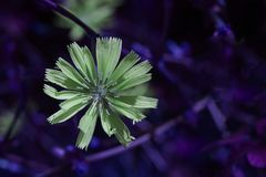 Common chicory-Selective focus-artistic ultra violet background