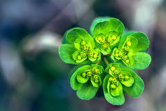 Blossom of the green plant Royalty Free Stock Photos