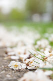 Blossom on the ground. Blown blossom on the ground and grass with a nice selective focus and a big copy space Stock Photography