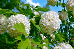 Blossom of guelder rose. Arrowwood, Snowball Bush, European Snowball. Beautiful white Viburnum opulus 'Roseum'  is a large, deciduous shrub with lobed leaves Royalty Free Stock Images