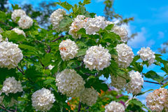 Blossom of guelder rose. Arrowwood, Snowball Bush, European Snowball. Beautiful white Viburnum opulus 'Roseum'  is a large, deciduous shrub with lobed leaves Royalty Free Stock Photography