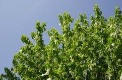 Blossom handkerchief tree Stock Photos