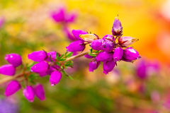 Blossom heather close up Royalty Free Stock Image
