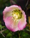 Blossom of helleborus hybridus, Christmas or Lenten rose, macro, selective focus, shallow DOF.  stock image