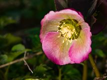 Blossom of helleborus hybridus, Christmas or Lenten rose, macro, selective focus, shallow DOF.  stock images