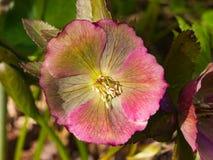 Blossom of helleborus hybridus, Christmas or Lenten rose, macro, selective focus, shallow DOF.  royalty free stock photos